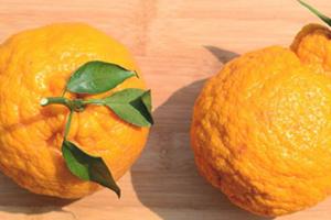 丑橘和橘子的区别 丑橘是橘子吗