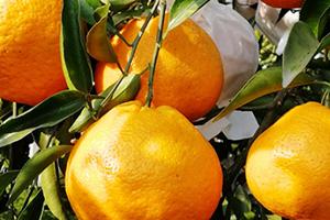 宝宝可以吃丑橘吗?孩子多大可以吃丑橘