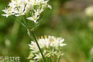 韭菜花和韭菜的区别 韭菜花是韭菜长出来的花吗