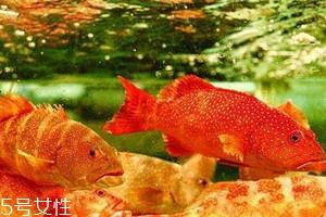东星斑好还是石斑鱼好 东星斑是石斑鱼吗