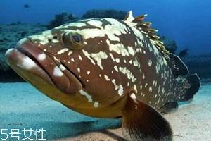 老鼠斑和老虎斑哪个贵 石斑鱼和老虎斑怎么区分