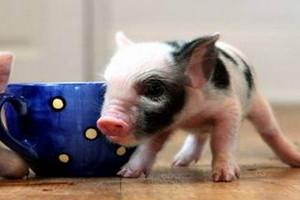 茶杯猪多少钱一只2018 茶杯猪哪里有卖