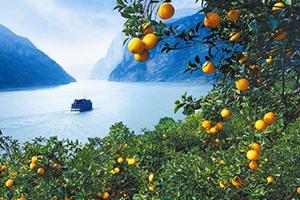 伦晚脐橙多少钱一斤?伦晚脐橙为什么这么火