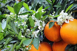 伦晚脐橙的营养价值 伦晚脐橙的功效作用