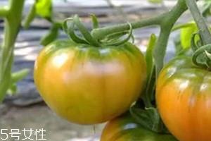 草莓柿子青的可以吃吗 草莓柿子吃法