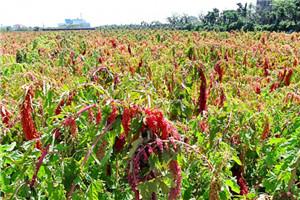 红藜麦的功效与作用 红藜麦怎么吃煮粥