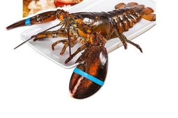 波士顿龙虾死了还能吃吗?死的波士顿龙虾能吃吗?