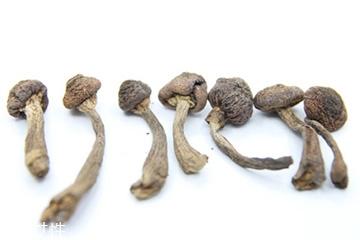 榛蘑和天麻的关系 榛蘑和天麻有什么联系?