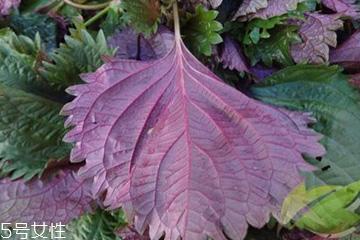 紫苏叶的形态特征 紫苏叶的外形是什么样?
