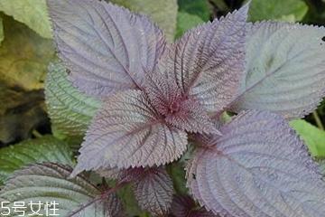 紫苏叶能吃吗?紫苏叶好吃吗?