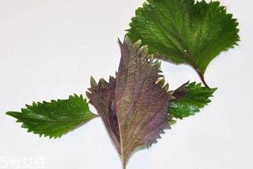 紫苏叶的选购技法 紫苏叶怎么挑选?