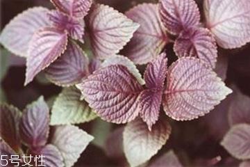 紫苏叶能泡脚吗?紫苏叶和什么能泡脚?