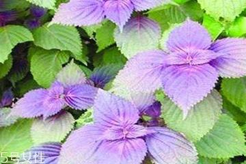 紫苏叶是发物吗?皮肤过敏的人能吃紫苏叶吗