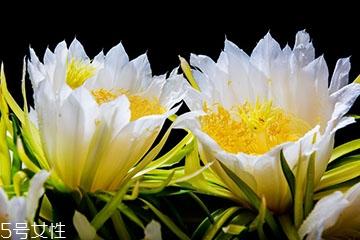 霸王花是火龙果的花吗 霸王花不是火龙果的花