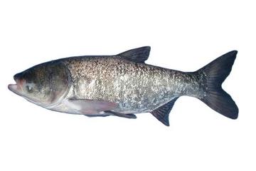 胖头鱼刺多吗 并不算多