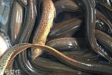 黄鳝能长多大 四两到半斤