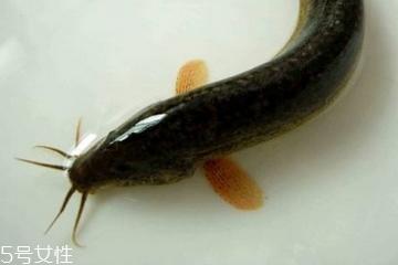 泥鳅是大的好还是小的好 大小都有营养