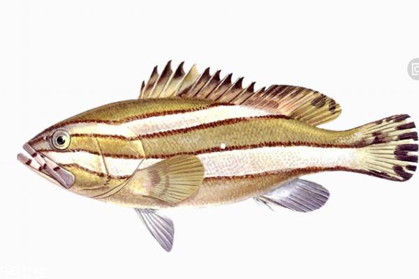 石斑鱼是海水鱼还是淡水鱼 海水淡水都有