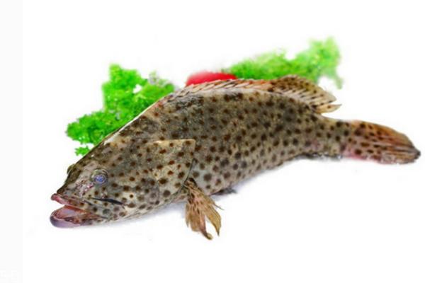 石斑鱼孕妇可以吃吗 孕妇吃它好处多