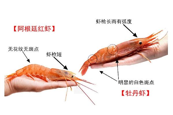 牡丹虾和阿根廷红虾怎么区分 看这张图就明白了