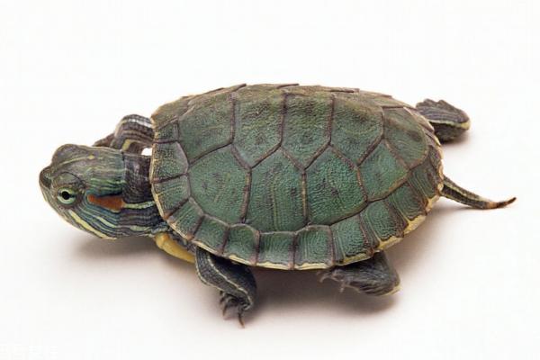 乌龟吃肉吗 大多数龟均为肉食性