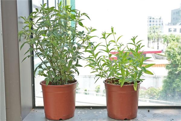家里种什么植物可以驱蚊虫 这些植物还能入菜