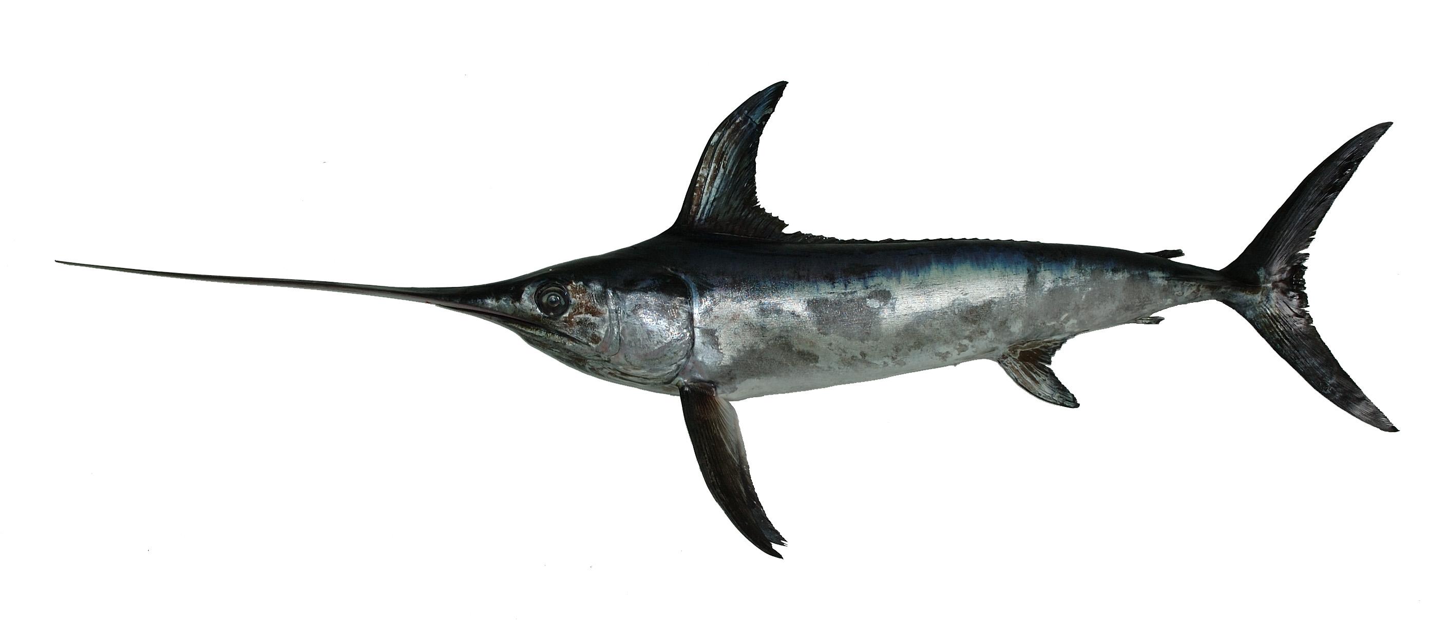 旗鱼有多少种 常见旗鱼种类介绍