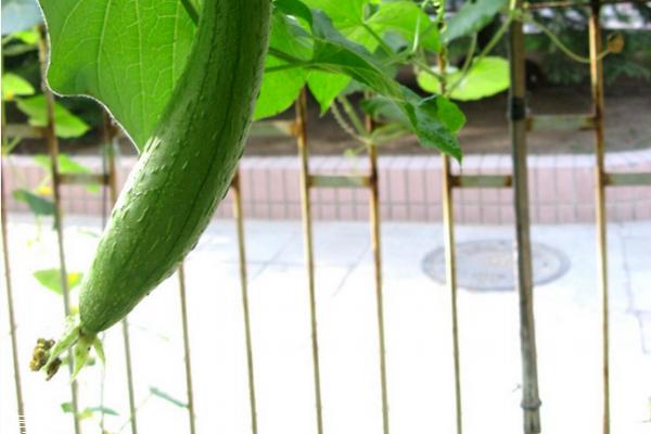 丝瓜有什么营养 吃丝瓜必看
