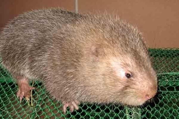 竹鼠怎么杀?新手养殖竹鼠的注意事项