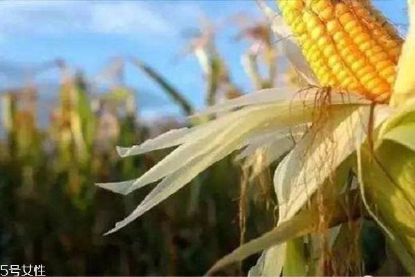 玉米须能治痛风吗 可帮助痛风患者缓解