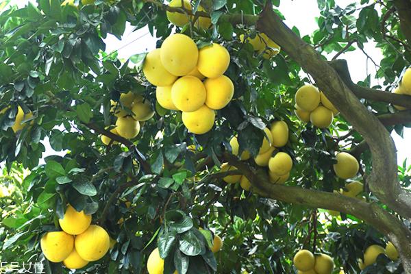 柚子为什么苦 可能是这几个原因