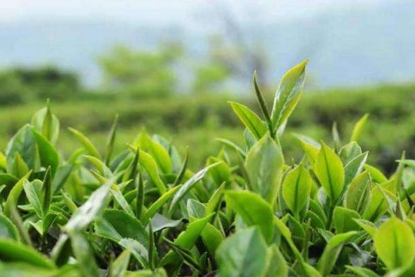 绿茶功效有哪些 什么情况不能喝绿茶