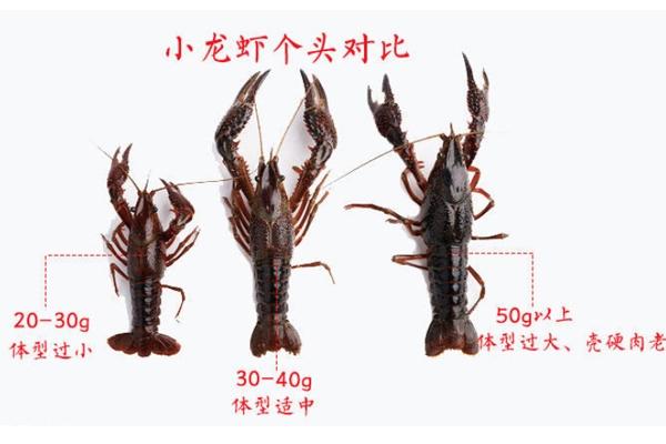 小龙虾越大越好吗 个头适中最好吃
