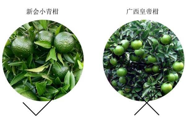 如何区分小青柑产区 柑果产区和普洱产区怎么区分