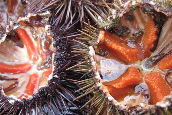 海胆吃的是哪个部位 各产地的海胆风味大不同