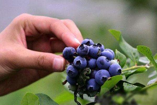 国内蓝莓产地哪里最好 认准这几个地区