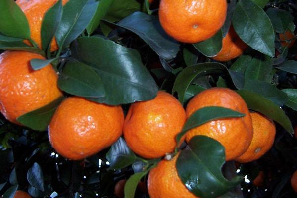 砂糖橘哪个产地的好 这2个地区最地道