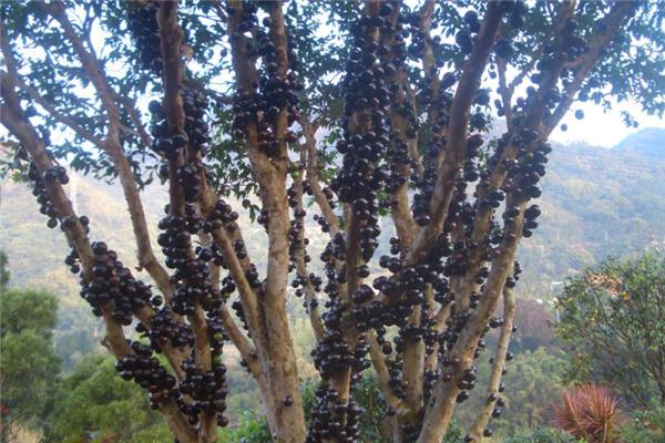 树葡萄的功效与作用 对人体好处多