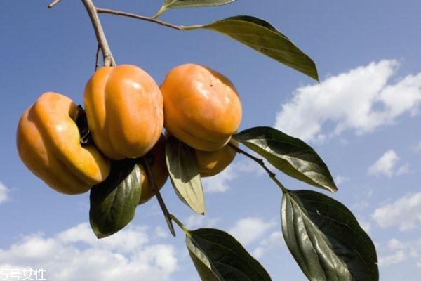 柿子没熟能吃吗 柿子怎样才能熟的快