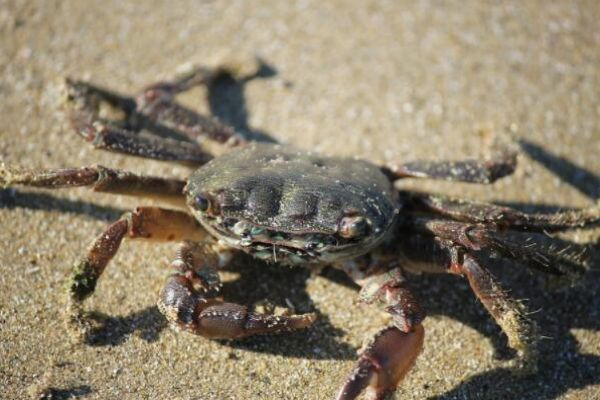三门青蟹怎么做好吃 三门青蟹的做法