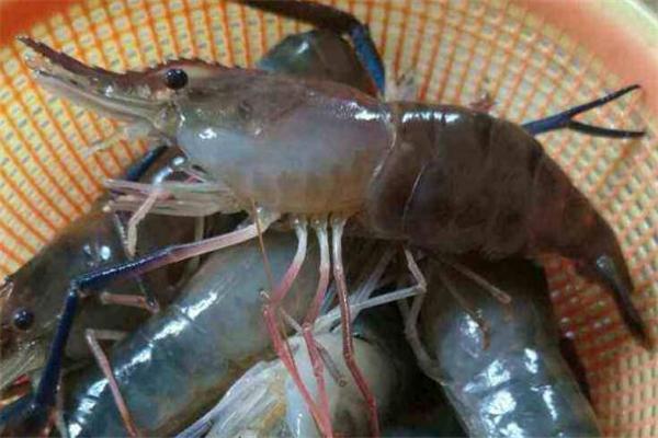 大头虾可以冷冻吗 大头虾保存方法