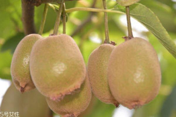 猕猴桃硬的好还是软的好 硬的比较好