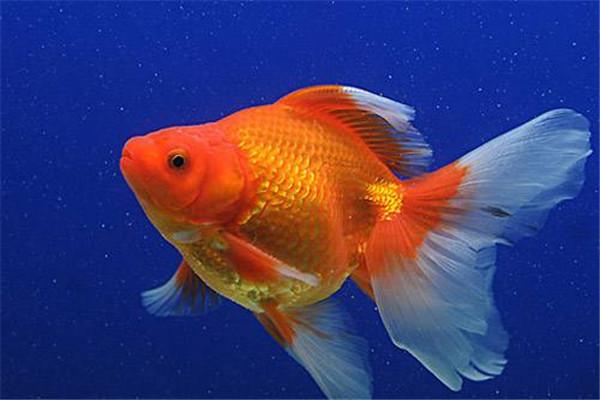 金鱼能吃吗 金鱼的用处