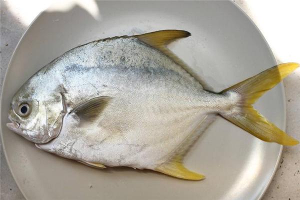 金鲳鱼多少钱一斤 金鲳鱼市场价格