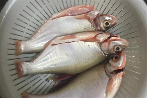 孕妇可以吃鲮鱼吗 好处非常多