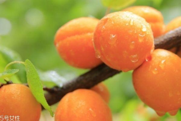 杏子和青梅的区别 青梅的营养价值
