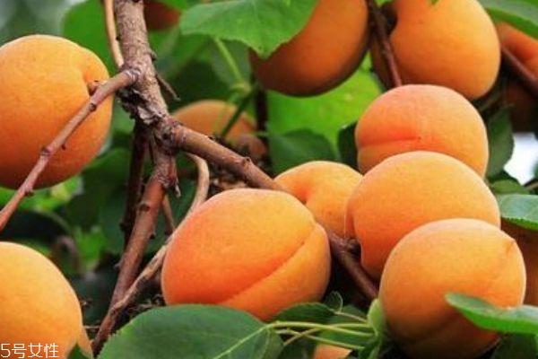 杏子吃多了会拉肚子吗 杏子要吃成熟的