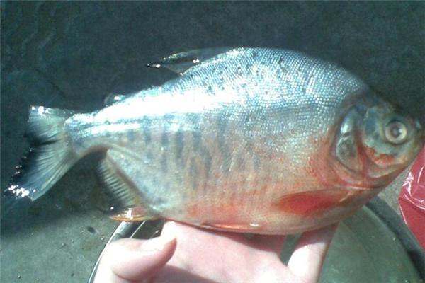 红鲳鱼是海鱼吗 生活在淡水中