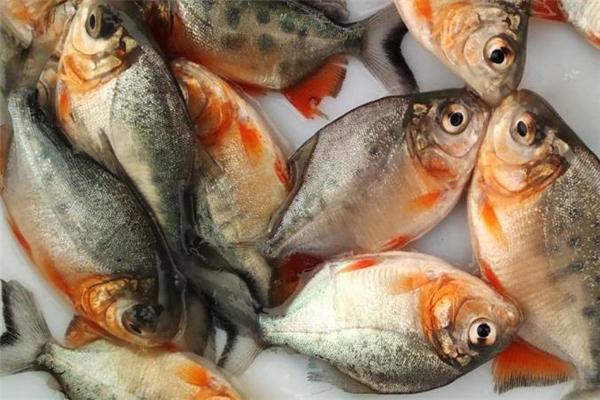 孕妇可以吃红鲳鱼吗 营养价值很高