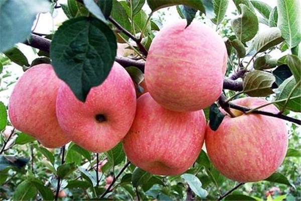 苹果可以和酸奶一起吃吗 苹果和酸奶这样吃